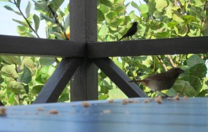 Antiguan bird friends 1a