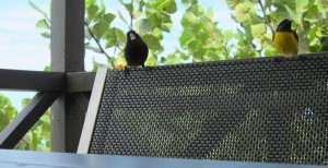 Antiguan bird friends 1b