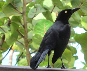Boat-tailed grackle, Antigua