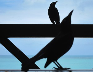 Boat-tailed grackles - Antigua