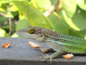 Lizard - Runaway Bay, Antigua