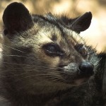 Civet close up - Himalayan Palm Civet