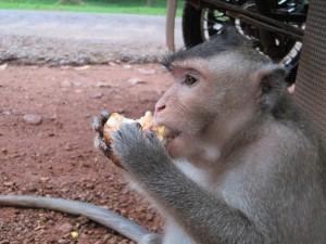 The monkey at Angkor Thom - Siem Reap