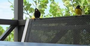 Antiguan bird friends 1b